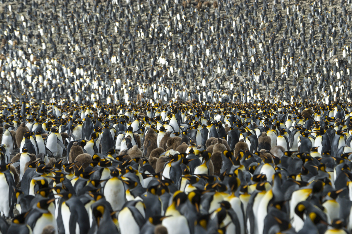 Where's All These Penguins Come From?
