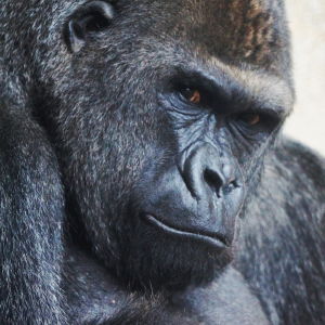 The Missing Gorilla Paradox